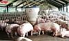 Amigo chuyên dùng làm sạch dụng cụ chăn nuôi (cái máng lợn) để phòng dịch tả lợn Châu Phi